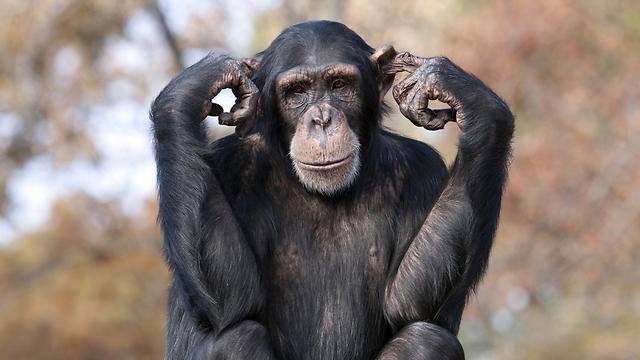 מסקרנים באורחות החיים שלהם ובמידת הדמיון שלהם אלינו. שימפנזים (צילום: shutterstock) (צילום: shutterstock)