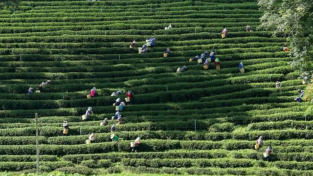 אז איך התה הגיע לאפריקה? שדה תה בקניה (צילום: shutterstock) (צילום: shutterstock)