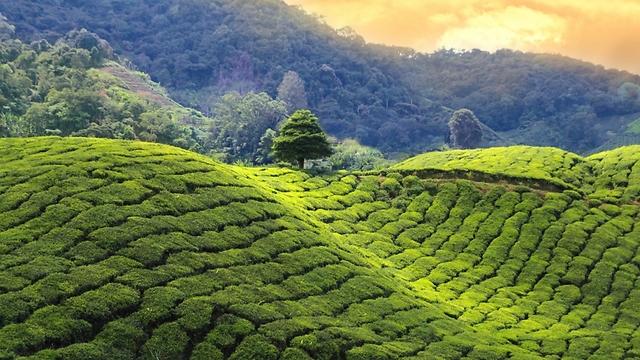 למי שסובל ממחסור בברזל מומלץ לשתות בנפרד מהאוכל. שדות תה בסין (צילום: shutterstock)