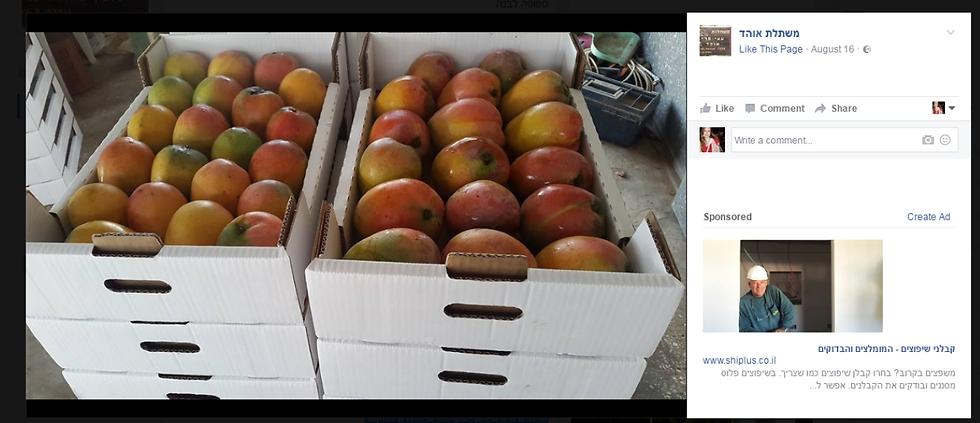 מנגו תוצרת המשתלה, שאוהד מגדל בה עצי פרי (צילום מסך מתוך פייסבוק) (צילום מסך מתוך פייסבוק)