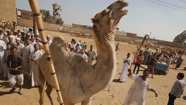 למצרים לא חסרות אטרקציות תיירותיות. גמל בעיר הפירמידות גיזה (צילום: AP)
