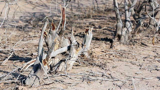 עצי פיסטוק מתים בדרום איראן (צילום: AFP) (צילום: AFP)