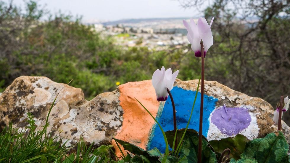 רקפות בכרמל: מקטע מסומן בשביל ישראל ליד חיפה (צילום: דובי טל)