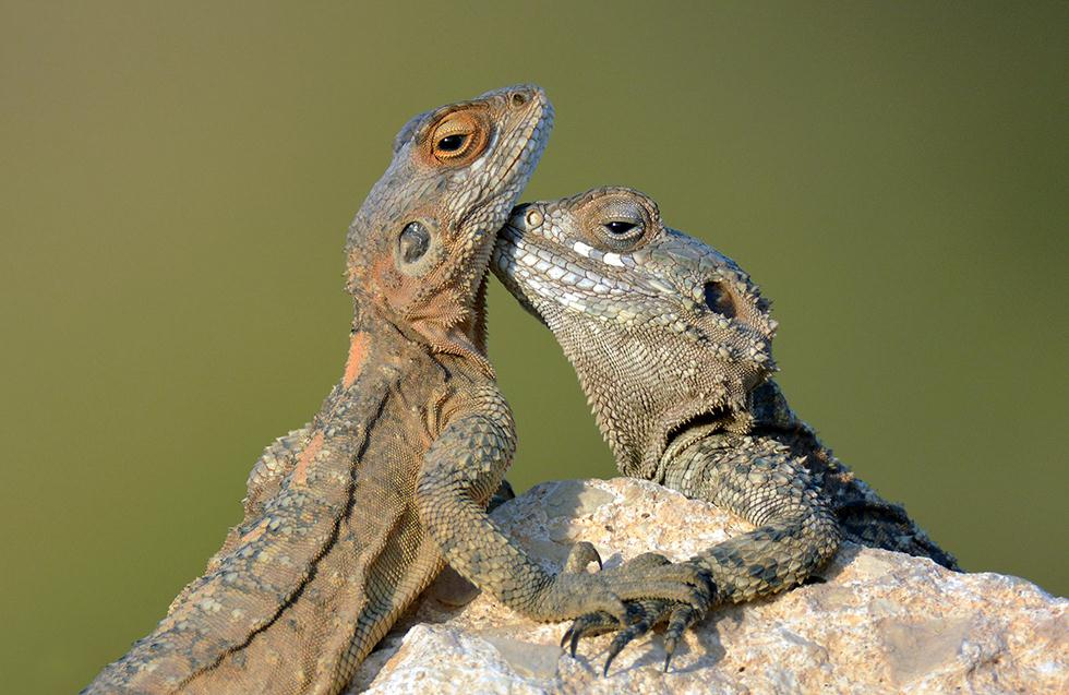 זוג חרדונים מצויים (צילום:  יוסי חן)