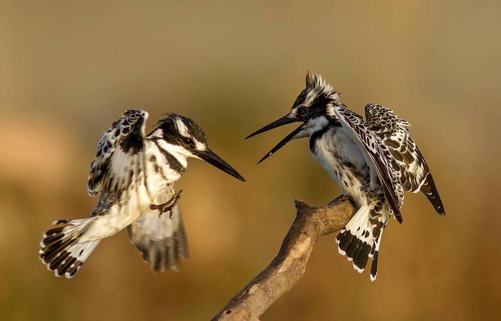 פרפורים עקודים (צילום:  מורדי מור חוטובלי)