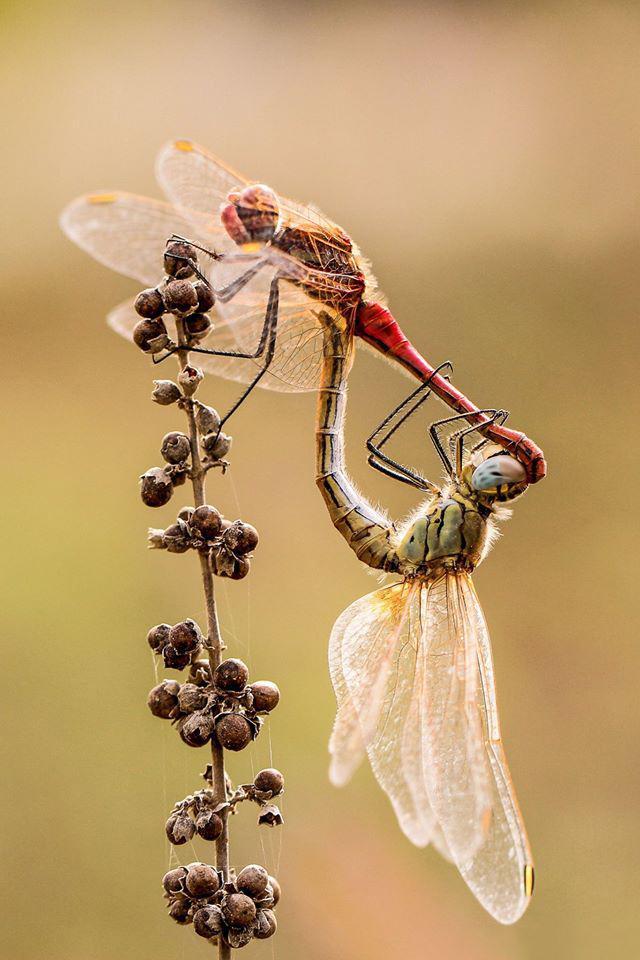 שפיריות (צילום: ריקי לויסמן)