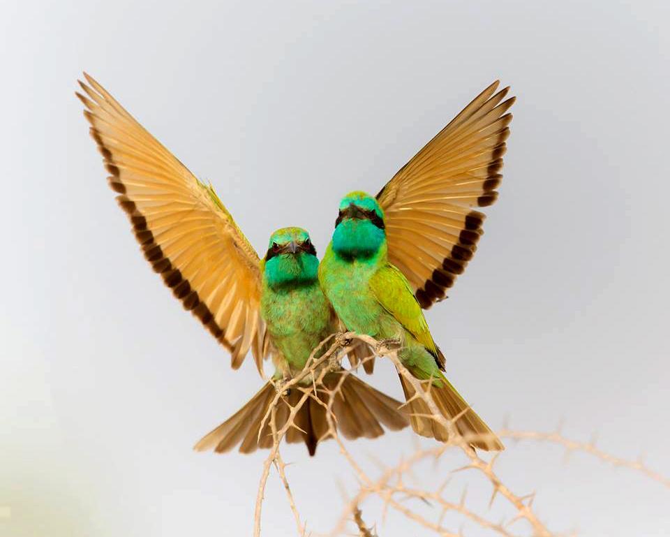שרקרקים גמדיים (צילום: שלומי שמאי)