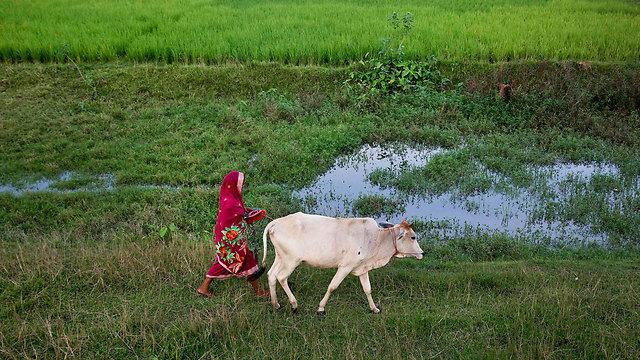 הפרה הקדושה של ההודים (צילום: AP)