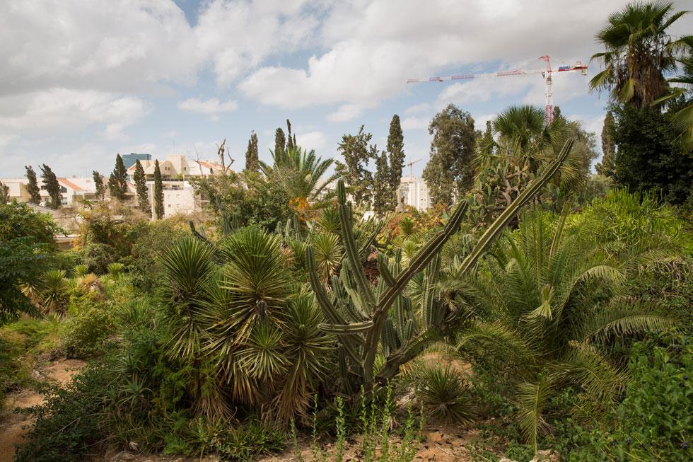 חלקת הקקטוסים בגן הברון מנשה. להזנחה יש מחיר: צמחים רבים קמלו ומתו, צמחים נדירים נגנבו (צילום: דור נבו)