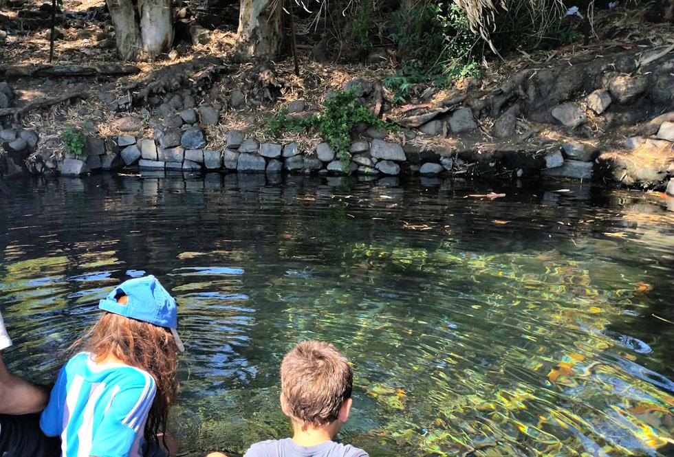 עין אמפי: בין עצי האקליפטוס תגלו בריכה עגולה ומוצלת של מים קרים וזכים (צילום: עינב לנדאו)
