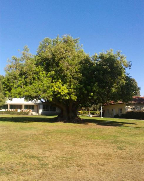 לא סתם עץ אדיר, אלא כזה שהופך את הדשא למקום, מסביר שחר צור (למטה) (צילום: יואש צור)