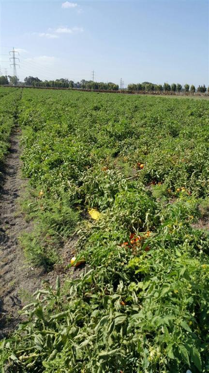 עגבניות שנותרו בשדה שכן לא משתלם לקטוף אותן