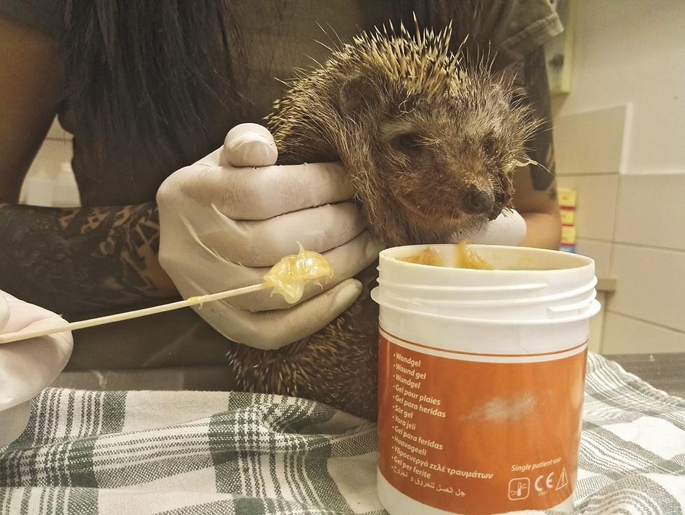 קיפוד מטופל בדבש (צילום: באדיבות הספארי)