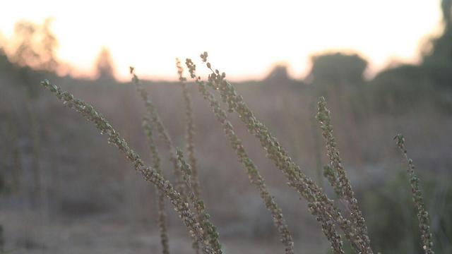 חצבים בשקיעה בשמורת כרמיה שבאזור מועצת חוף אשקלון  (צילום: רועי עידן) (צילום: רועי עידן)