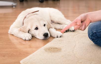 כשמדובר בשטיח סינתטי ניתן לנקות לבד כעזרה ראשונה  (צילום: shutterstock) (צילום: shutterstock)