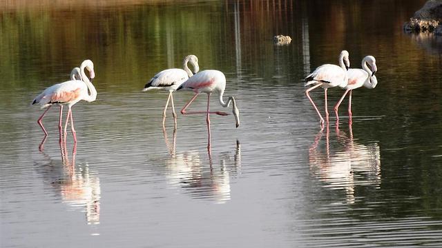 פלמינגו בפארק הצפרות באילת (צילום: דב גרינבלט, החברה להגנת הטבע)