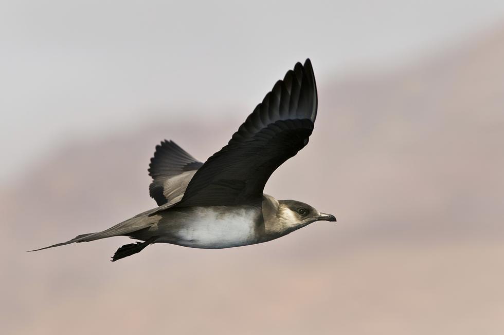 חמסן טפיל - משיג את מזונו על ידי הטרדת מיני ציפורי ים אחרות, עד כדי הקאתן את טרפן  (צילום: אבי מאיר)