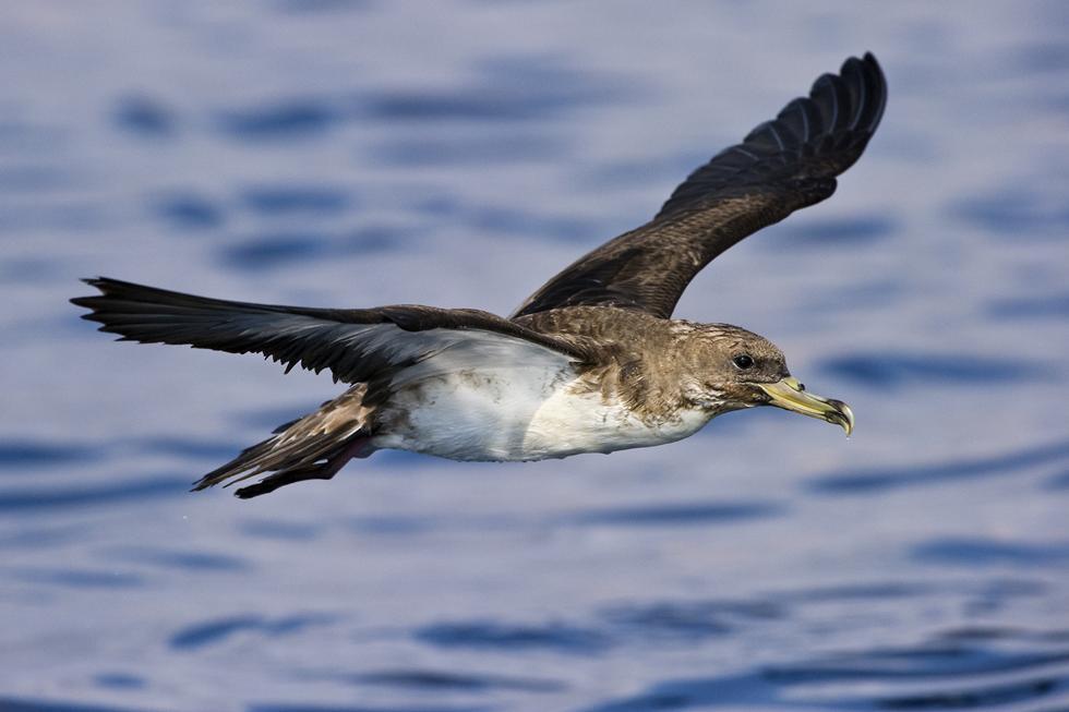 יסעור גדול - ציפור ים גדולה הדואה על זרמי אויר מעל פני הים (צילום: אבי מאיר)