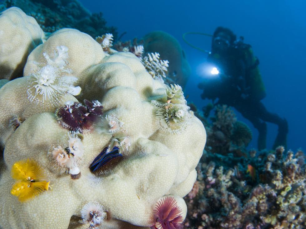 תולעים נרתיקניות בשלל צבעים חיות על אלמוג (צילום:חגי נתיב)