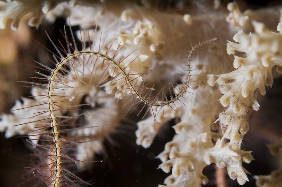 נחשון ים מגשש את דרכו על אלמוג (צילום:חגי נתיב)