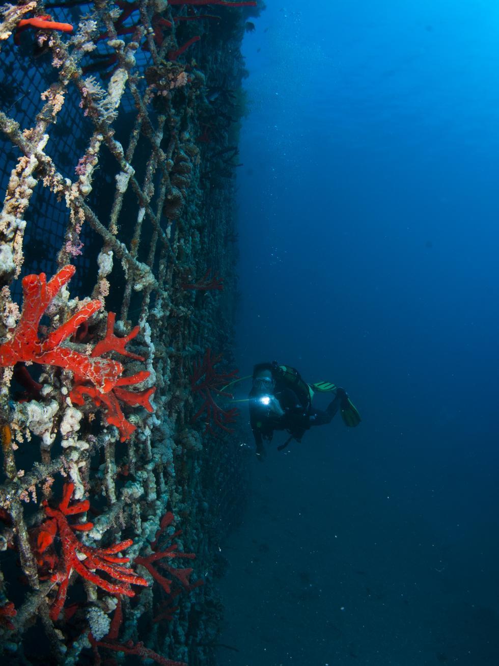 ספוגים ואלמוגים מכסים רשת צפופה המגנה על המעגן (צילום:חגי נתיב)