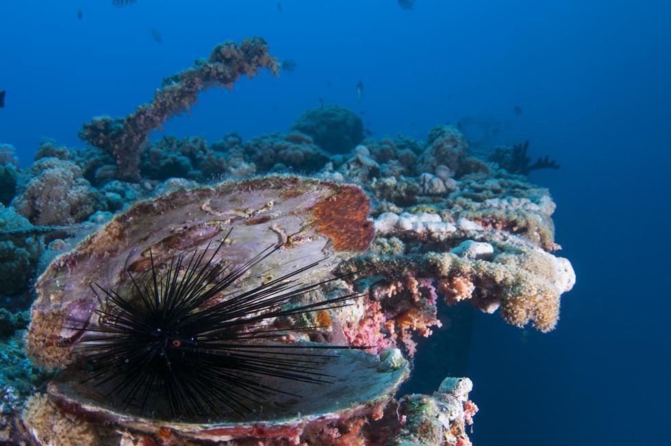 קיפוד ים קוצני מוצא מסתור בתוך קונכיית צדפה (צילום:חגי נתיב)