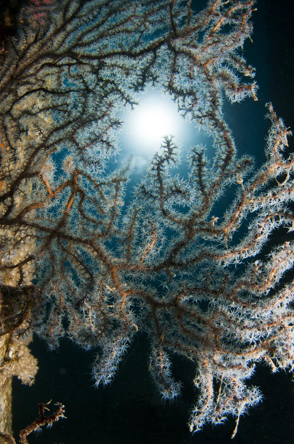 אלמוג דק גורגונית כחלחלה מלקט מזון במים השקטים שמתחת למימשה (צילום:חגי נתיב)