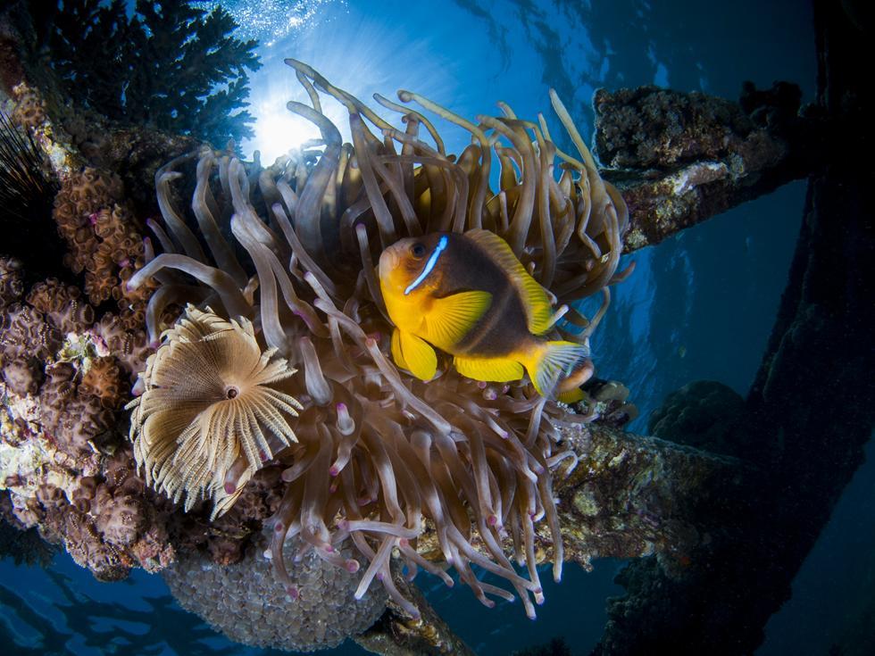 דג השושנון ותולעת נרתיקנית מוצאים מסתור בין זרועותיה הצורבות של השושנה (צילום:חגי נתיב)