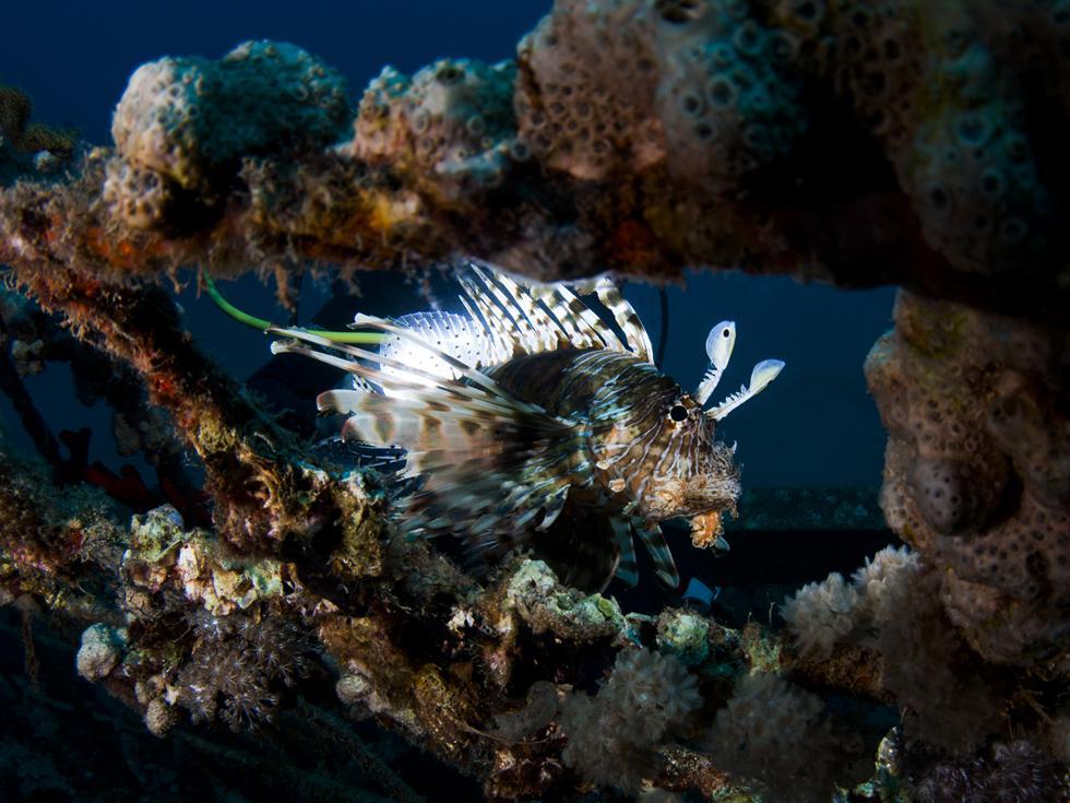 זהררון הדור- אחד מהטורפים המרהיבים של השוני, מסייר בין האלמוגים שהתפתחו על קרקעית הים (צילום:חגי נתיב)