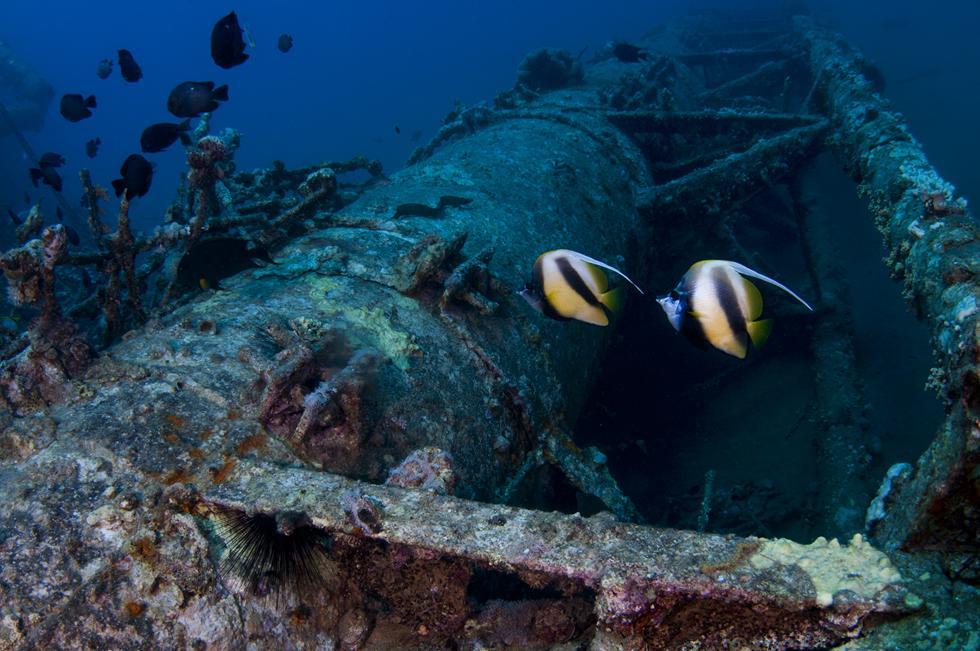 זוג דגי שרביטית השונית מוצאים בית ביסודות מבנה שנפל לים יחד עם אלמוגיות שחורות ודגים אחרים (צילום:חגי נתיב)
