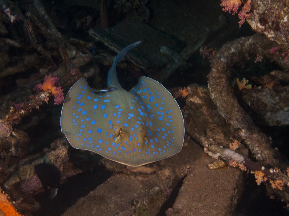 מחבטן הסנפירים שוחה בין חלקי מתכת על קרקעית הים (צילום:חגי נתיב)