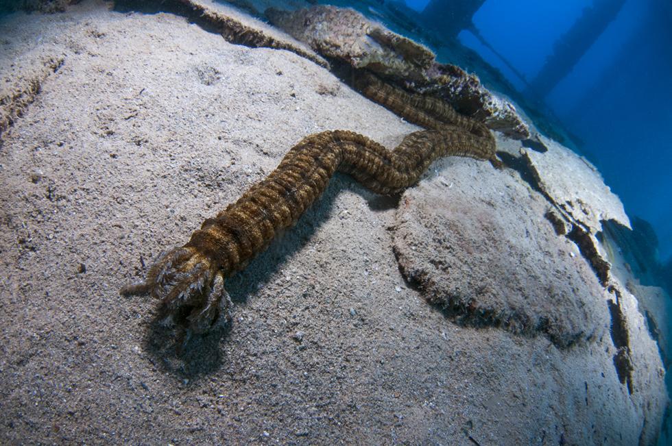 מלפפון ים מהסוג סינפטה אפורה צד את מזונו למרגלות עמודי המימשה (צילום:חגי נתיב)