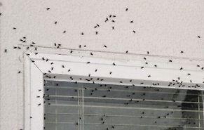 זבובים, זבובים בכל מקום - אילוסטרציה (צילום: איציק קורקוס)