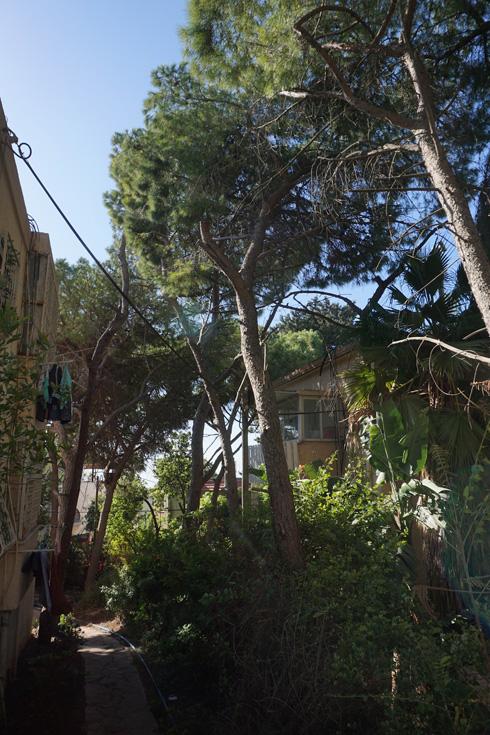 אורנים מרהיבים בחיפה. עליהם צריך לשמור - אך את העצים היבשים מוכרחים לכרות, ולדאוג שהתושבים יעשו זאת בחצרותיהם (צילום: גיא שחר)