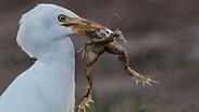 אנפית הבקר טורפת צפרדע נחלים בעמק החולה (צילום: דרור גלילי)