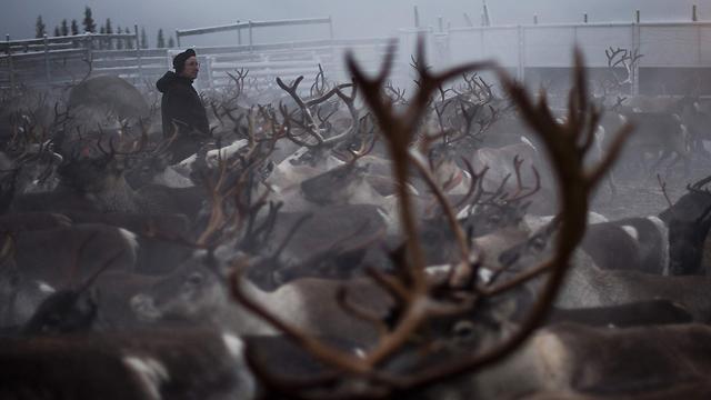 220 אלף איילים. אין מספיק לכולם (צילום: AFP) (צילום: AFP)