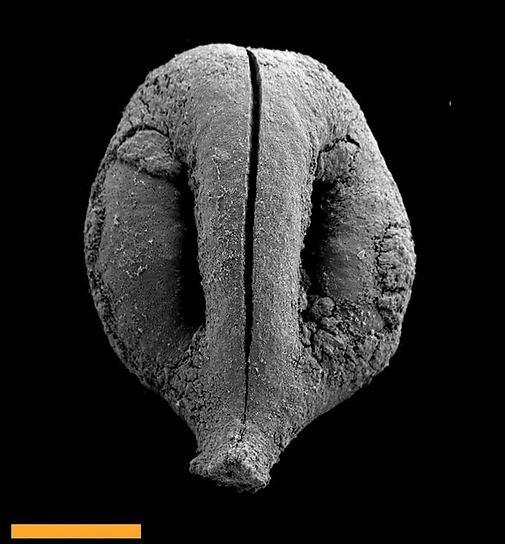 גפן היערות, חרצן גפן בן 780,000 שנה שגודלו מילימטר אחד (צילום: יעקב לנגזם)