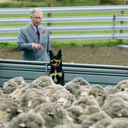 הנסיך צ'רלס. עורר סערה בבריטניה כשגילה שהוא מטפל בחיות החווה שלו, בעיקר פרות וכבשים, בתכשירים הומיאופתיים  | צילום: אי־פי־איי