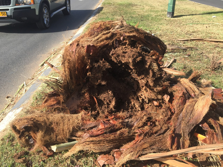 עץ שנפל בתל אביב בעקבות פגיעת חדקונית הדקל (באדיבות משרד החקלאות)
