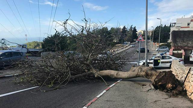 עץ שקרס על כביש ביציאה מחיפה (צילום: משטרת ישראל ) (צילום: משטרת ישראל )