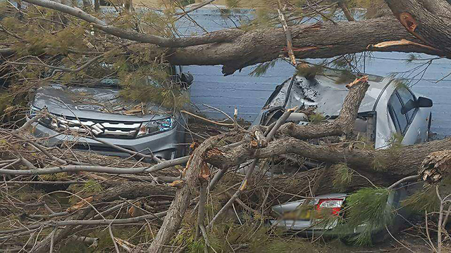 מכוניות שנפגעו מעצים שקרסו בטייבה ()