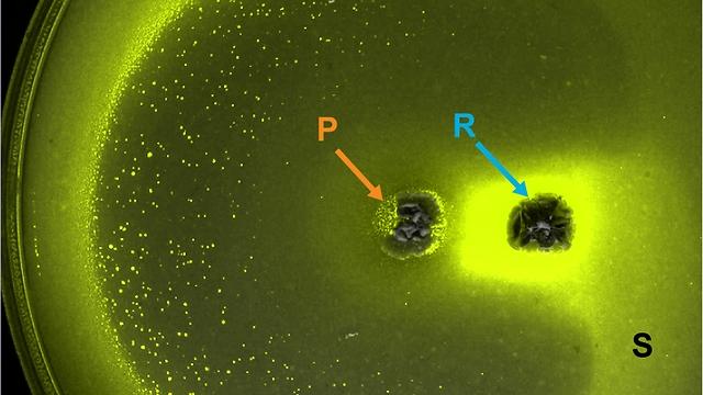"""אינטראקציה בין שלושה מינים שונים על צלחת פטרי: E. coli רגישים לאנטיביוטיקה (ירוק בהיר, """"S""""), חיידקים יצרני אנטיביוטיקה (P) וחיידקים מפרקי אנטיביוטיקה (D). החיידקים הרגישים לאנטיביוטיקה אינם גדלים בסביבת יצרני האנטיביוטיקה מלבד באזור הסמוך למְפרקי האנטיביוטיקה המגִנים עליהם. במחקר נמצא שיחסי גומלין כאלה מאפשרים קיום משותף יציב של מינים רבים (צילום: דוברות הטכניון)"""