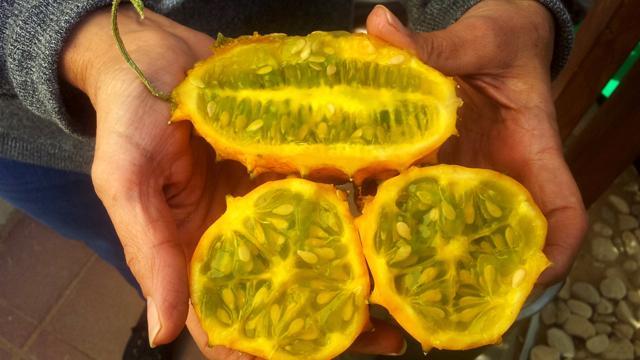 פרי הקיוואנו. מקווים שגם ילדים ירצו לאכול אותו (צילום: תקשורות- יעל שביט  ) (צילום: תקשורות- יעל שביט  )