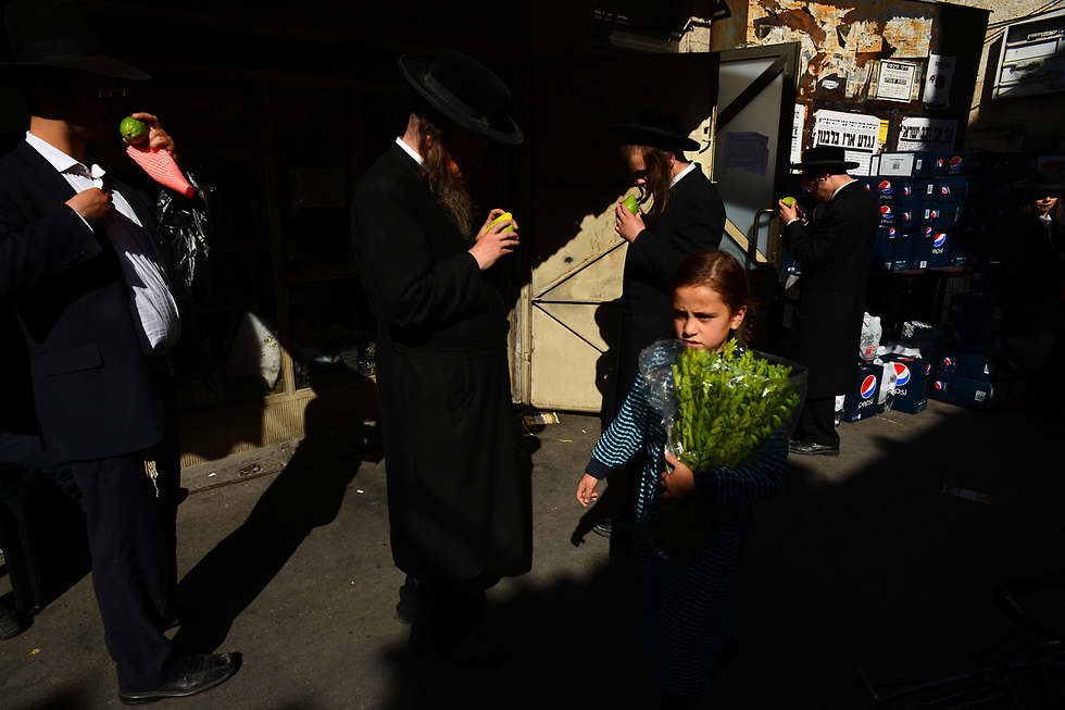 לפני סוכות, בדיקת כשרות ואתרוגים (צילום: אילן בן יהודה) (צילום: אילן בן יהודה)