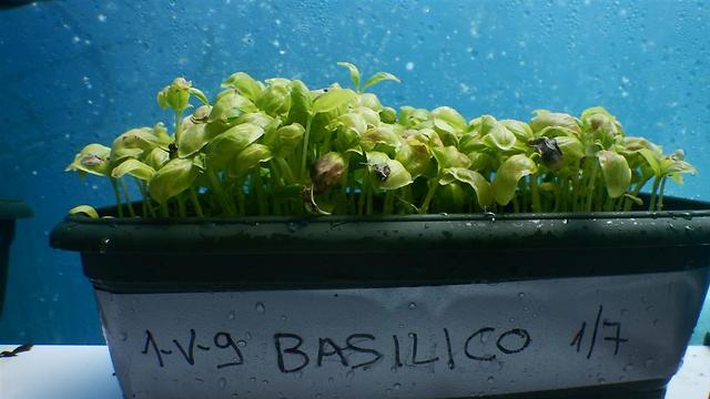 עלי הבזיליקום מציעים טעמים חזקים במיוחד (צילום: באדיבות Nemo's Garden) (צילום: באדיבות Nemo's Garden)