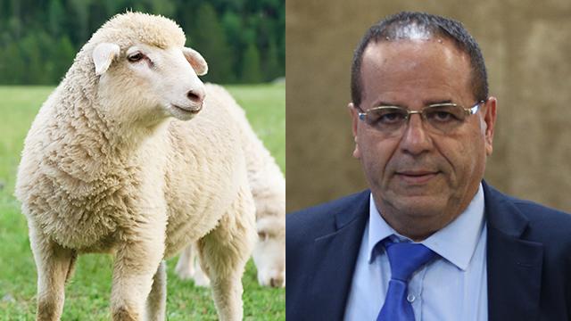 MK Ayoob Kara (R) to celebrate with sheep slaughter (Photos: Shutterstock, Amit Shabi) (Photos: Shutterstock, Amit Shabi)