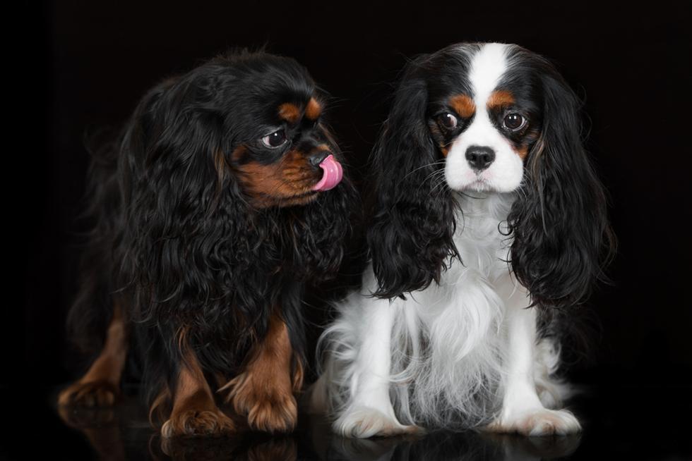 כלבים מגזע קבליר קינג צ'רלס (צילום: shutterstock)