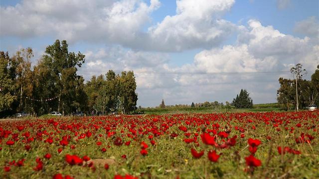 שטיח אדום: חוגגים את פריחת הכלניות לזכרה של שושנה דמארי (צילום: רפי בביאן)