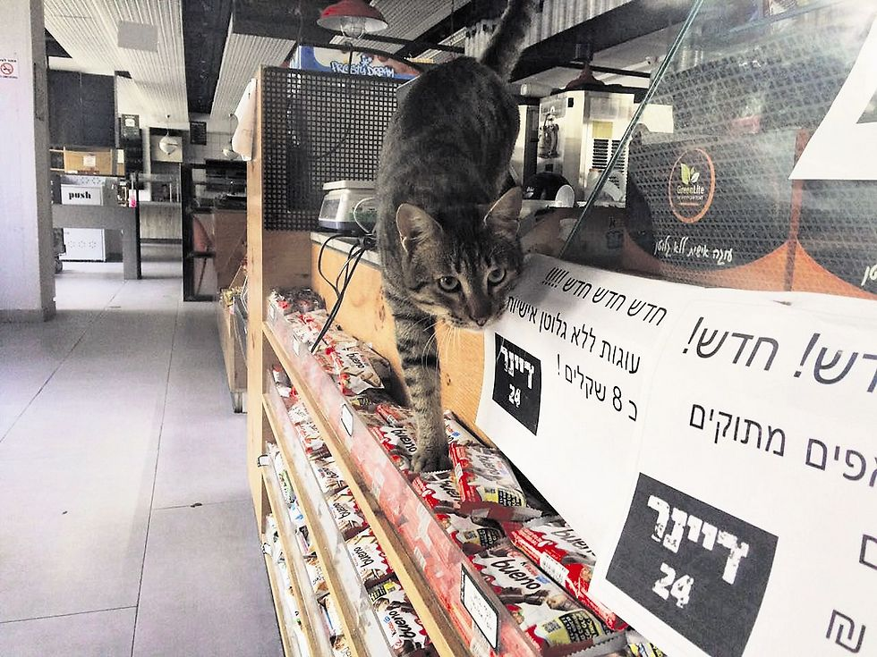 חתול על מוצרי מזון באחת הקפיטריות  (צילום: אופיר מזרחי )