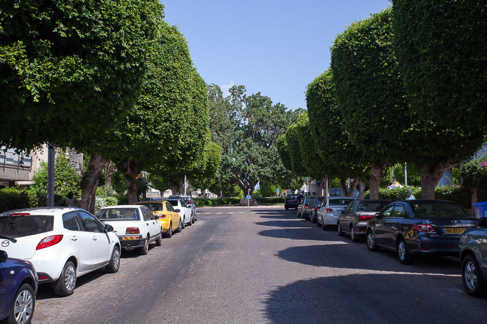 שכונה עתירת עצים בחולון. חשיבותם במדינה חמה כמו ישראל - קריטית (צילום: טל ניסים)